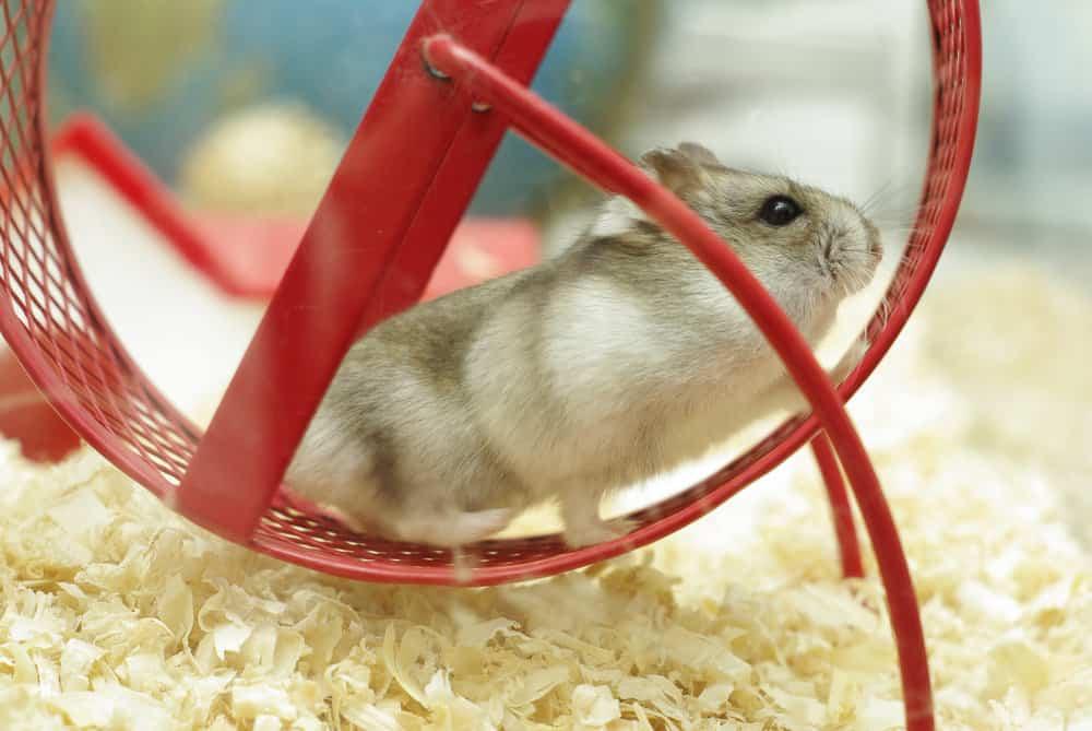hamster-on-a-hamster-wheel