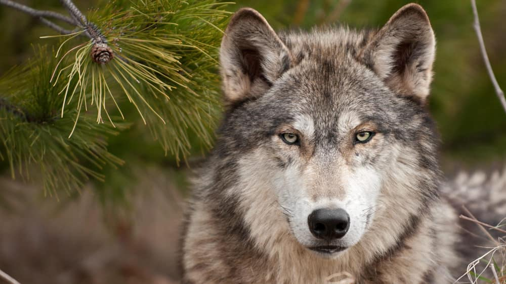 Lone timber wolf.