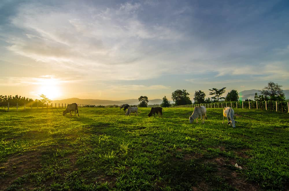 Dairy farm field at sunrise