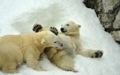 bear cubs frolicking in the snow
