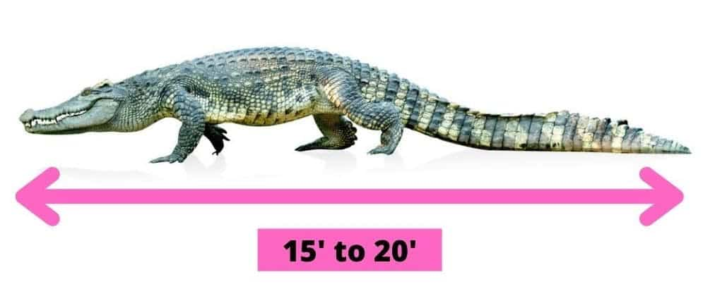Side profile of a crocodile with arrow lines to indicate the dimensions.
